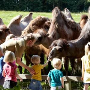 Barna får hjelpe dyreparkguiden med å mate kamelene.