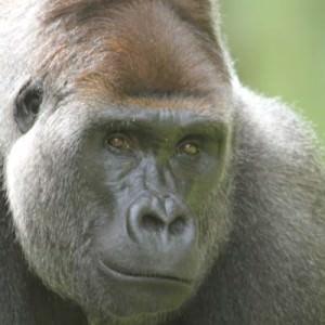 Et av de mange dyrene du kan se, er gorillaer.