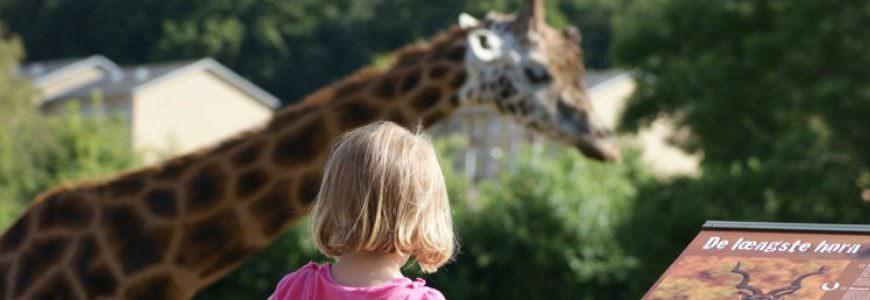 Aalborg zoo Giraff
