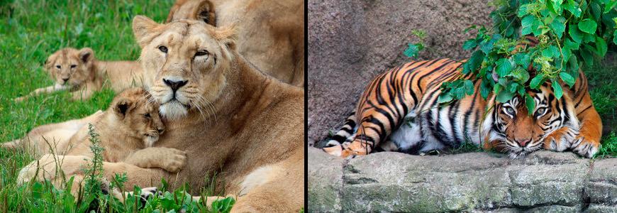 Løve og tiger